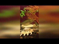 Первое знакомство ротана с карасями в аквариуме