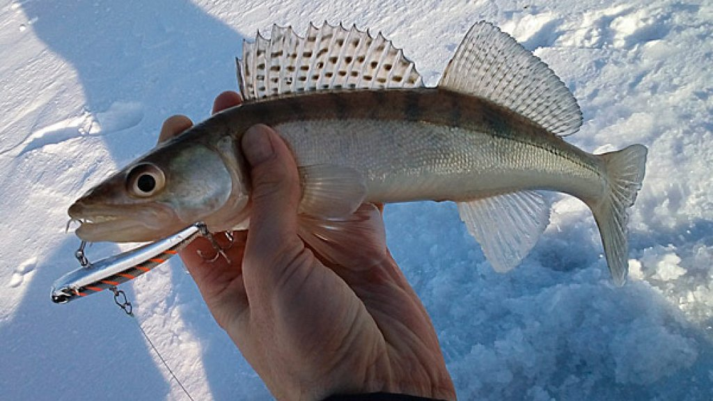 ТОП - 6 зимних приманок для ловли судака. Рейтинг продавца