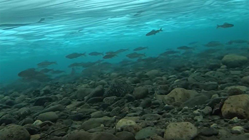 Если не клюет - не значит, что рыбы нет. Очень много хариуса, подледная съемка
