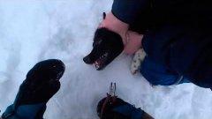 Спасли собаку от мучений. Попала на жерлицу