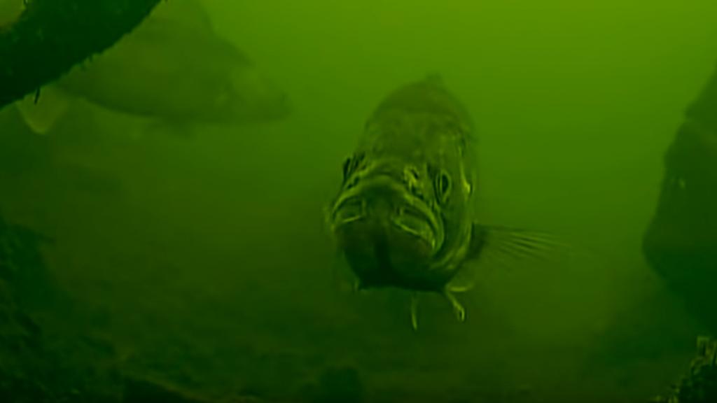 Вплотную - стая судака, подводная съемка