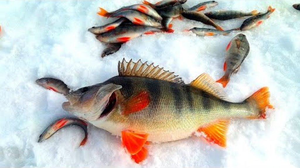 Горбачи на косынку. Рыбалка в Сибири