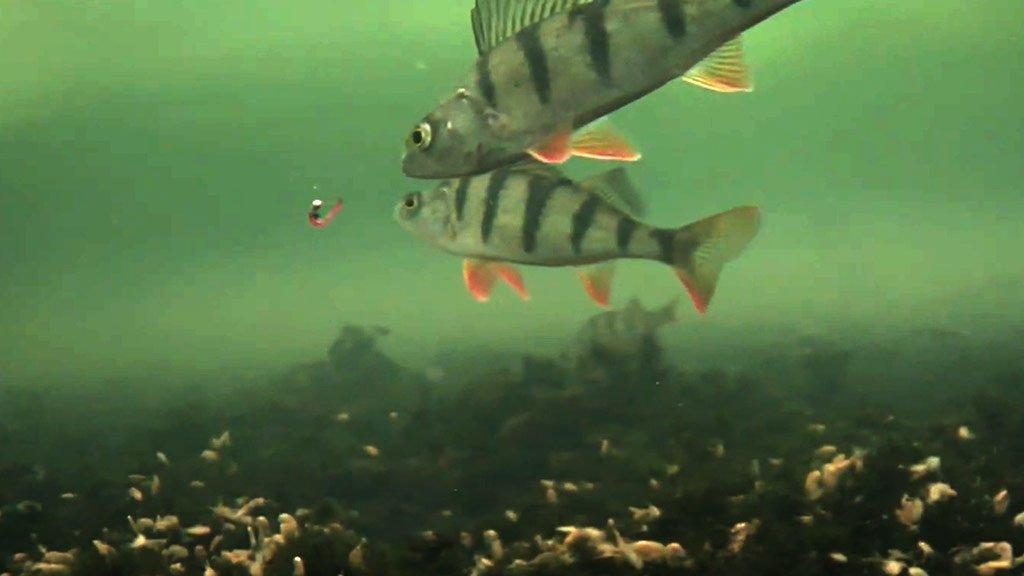 Разловил окуня. Как окунь реагирует на мормышку под водой