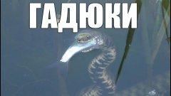 Гадюка охотится на рыбу уникальные кадры