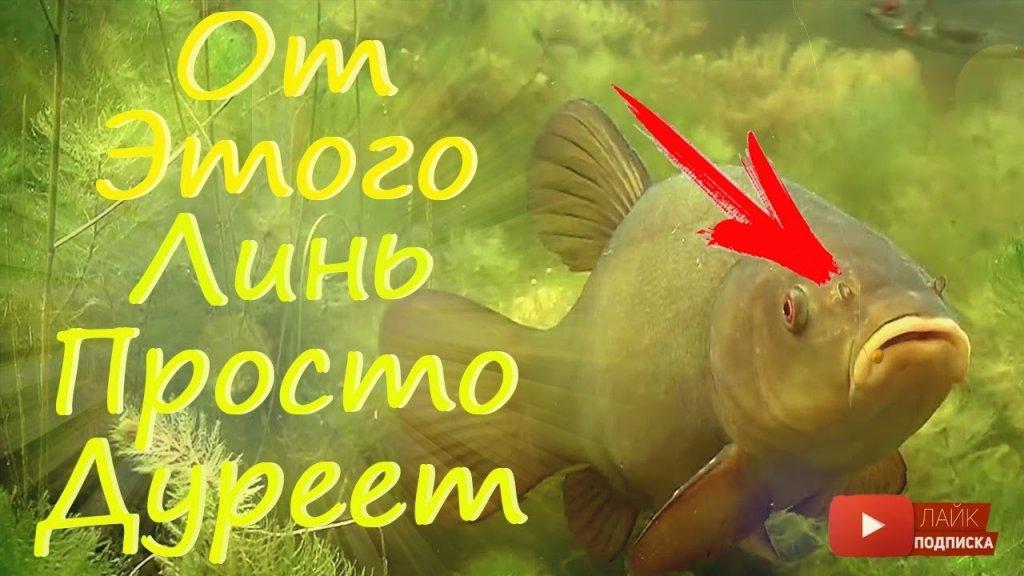 Супер рыболовная насадка на линя.на это линь клюет весной как сумасшедший.
