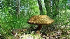 За грибами.Первые весенние грибы.