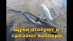 Случай на рыбалке. Щуки срезают воблеры