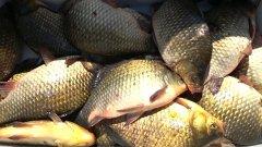 Бешеный клёв. Рыбалка на фидер. Видео 2020. (карась, язь, чебак, сазан, щука)