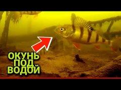 Килограммовые окуни под водой | подводные съёмки рыбы
