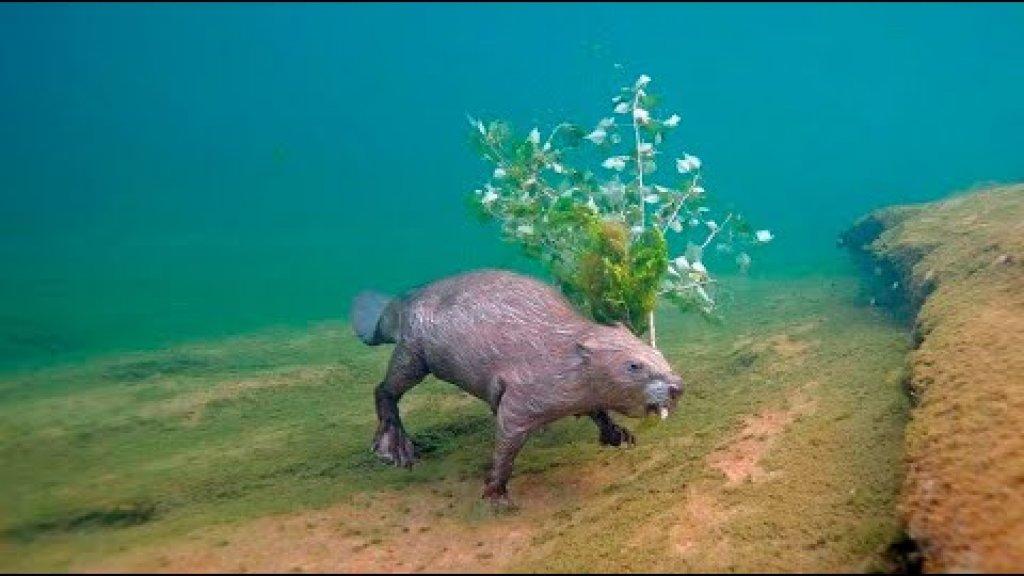 Встретил бобров под водой