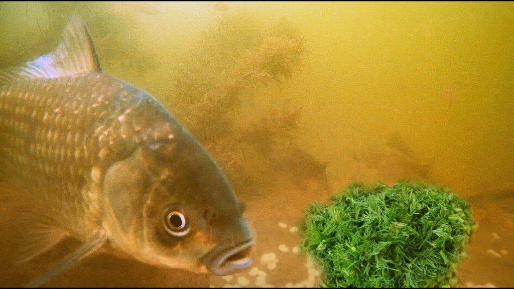 Запаренная Перловка с Укропом! Реакция рыбы! Подводная съемка