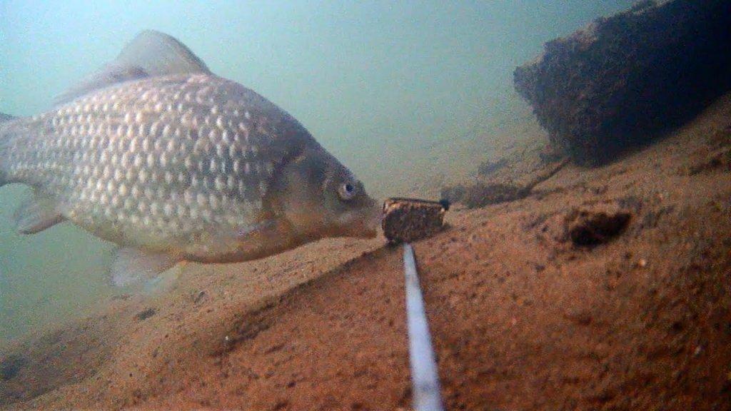Жмых подсолнечника с Коноплёй! Реакция рыбы! Карась, судак. Подводная съемка на закате.