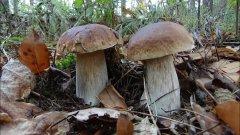 Как найти грибы в лесу  Секреты сбора грибов