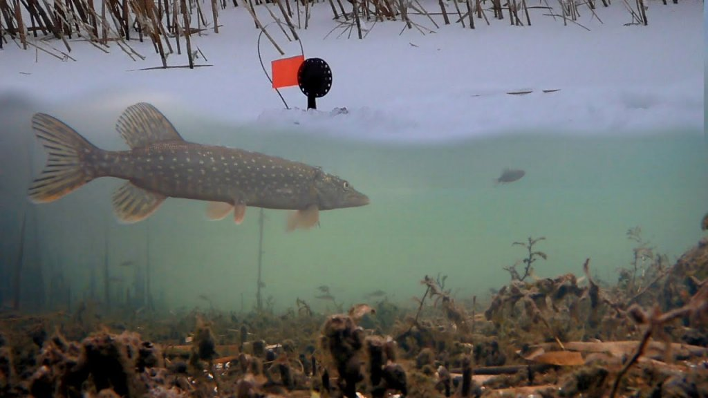 Ловля Щуки и Окуня на Жерлицы! Подводная съемка