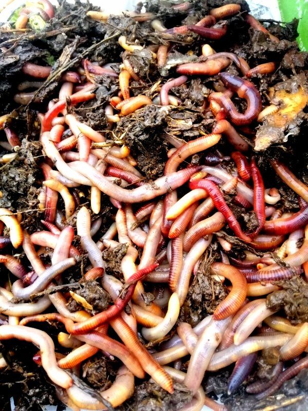 15 ноября червя очень много, а скоро морозы!