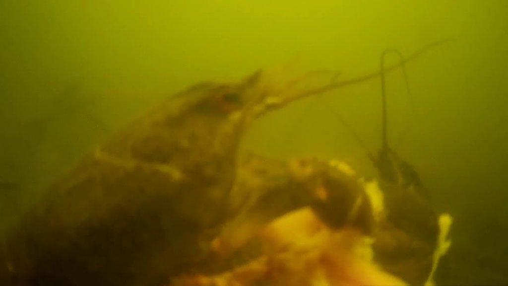 Драка раков за кусок печени ! fishing 🎣 подводная съёмка 👍