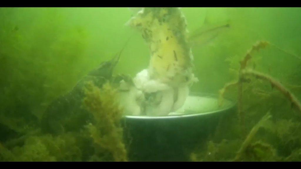 Рак на куриную шкуру. Съемка под водой
