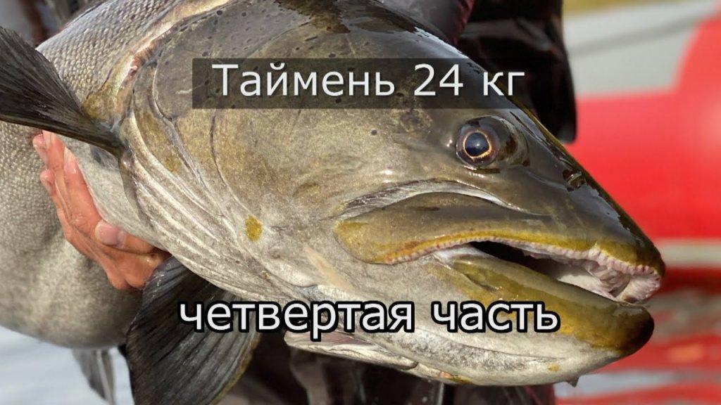 Дикие таймени Станового хребта (четвёртая часть) Таймень 24кг