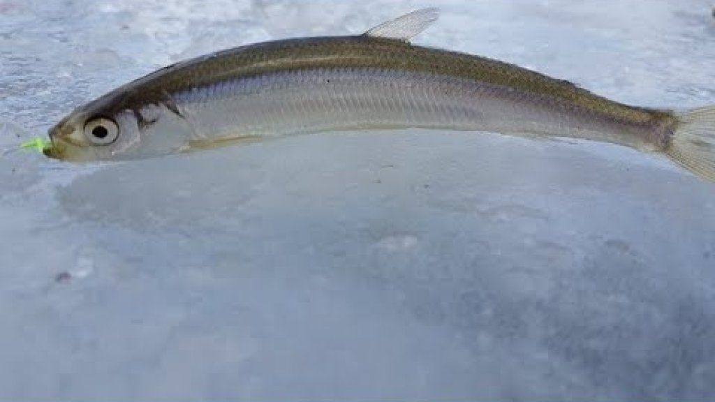 Корюшка, краснопёрка, камбала. Рыбалка по первому льду.