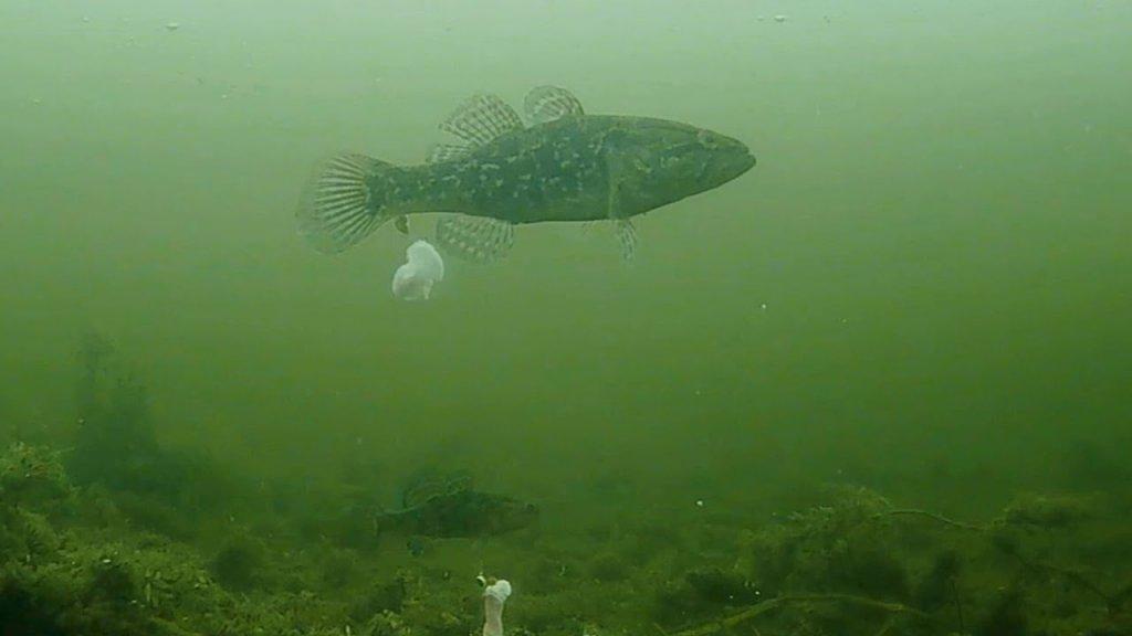 Подводные поклевки ротана на сало. Зимняя рыбалка 2020. Первый лед