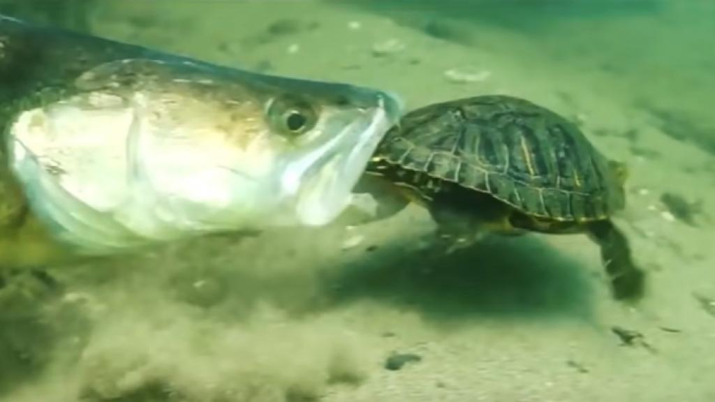 Подводные атаки судака