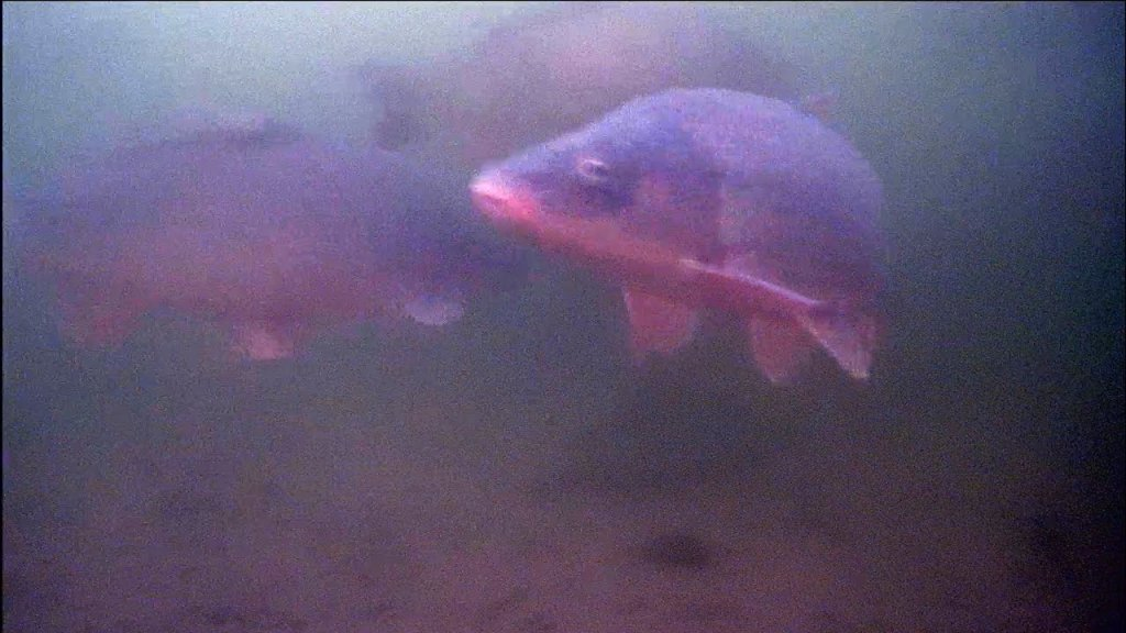 Увидел тонну сазанов под водой