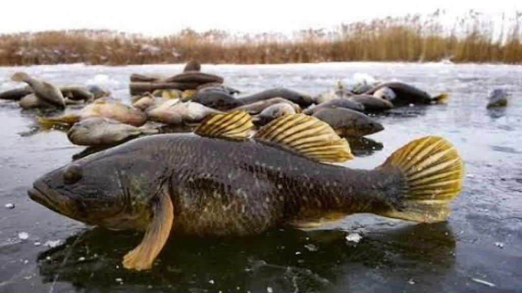 Ротан - зимняя рыба сибирских болот