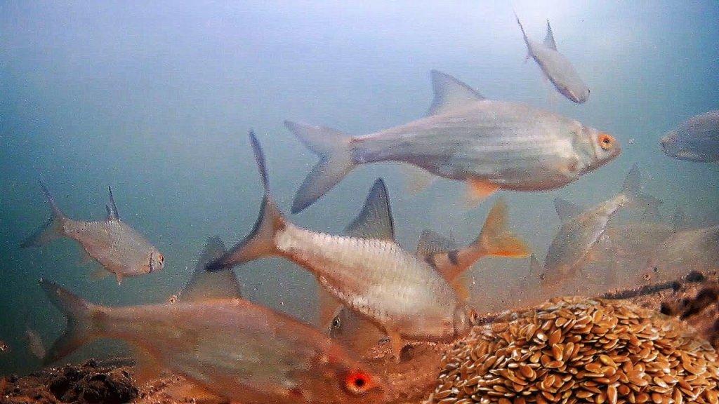Жареные Семечки Льна или Гаммарус!? Реакция рыбы. Подводная съемка