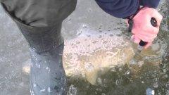 Кабанчика на зимней рыбалке. Сазан
