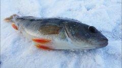 Секреты ловли окуня на мормышку. Зимняя рыбалка.