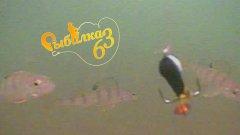 Подводная сьемка реакции окуня на разные приманки. Рыбу нашли но что ей надо так и не поняли.