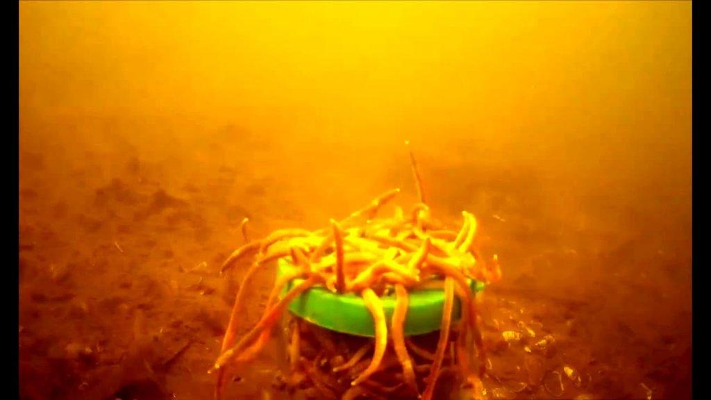 Подводная съёмка, на червья дендробена ускорения варсия