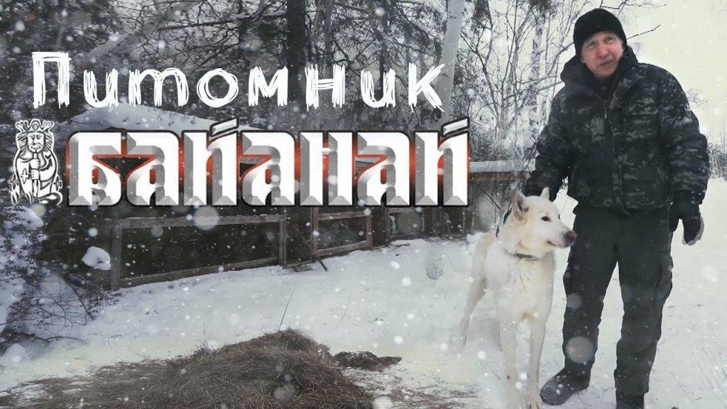 """Питомник охотничьих лаек """"Байанай""""."""