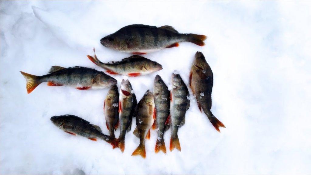 Рыбалка на окуня в Ленинградской области. Устье реки Свирь (Лиманы) возле д.Загубье. Март 2021г.