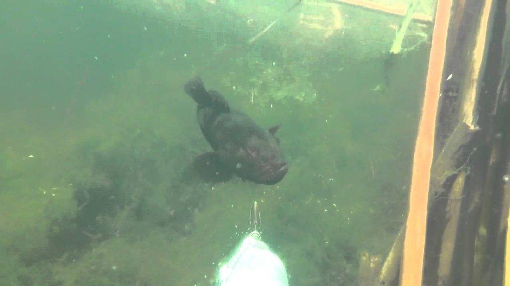 Ротан атакует аквалангиста