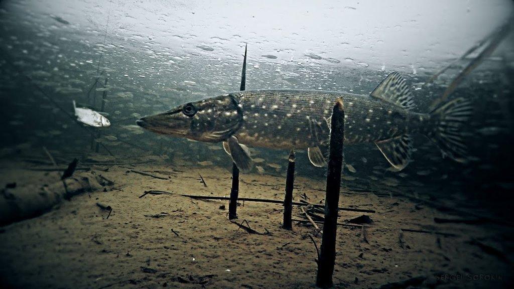 Щука обходит свои владения. Кадры под водой