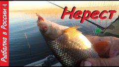 Ловля плотвы в нерест на Чудском озере. Шикарный клёв на поплавочную удочку.