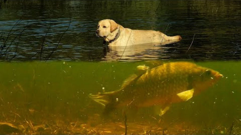 Взял лабрадора на рыбалку. Карась пожалел об этом