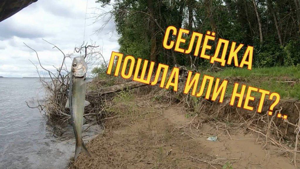 Рыбалка на селедку. Самая простая и уловистая снасть. Волга . Лето 2021г.