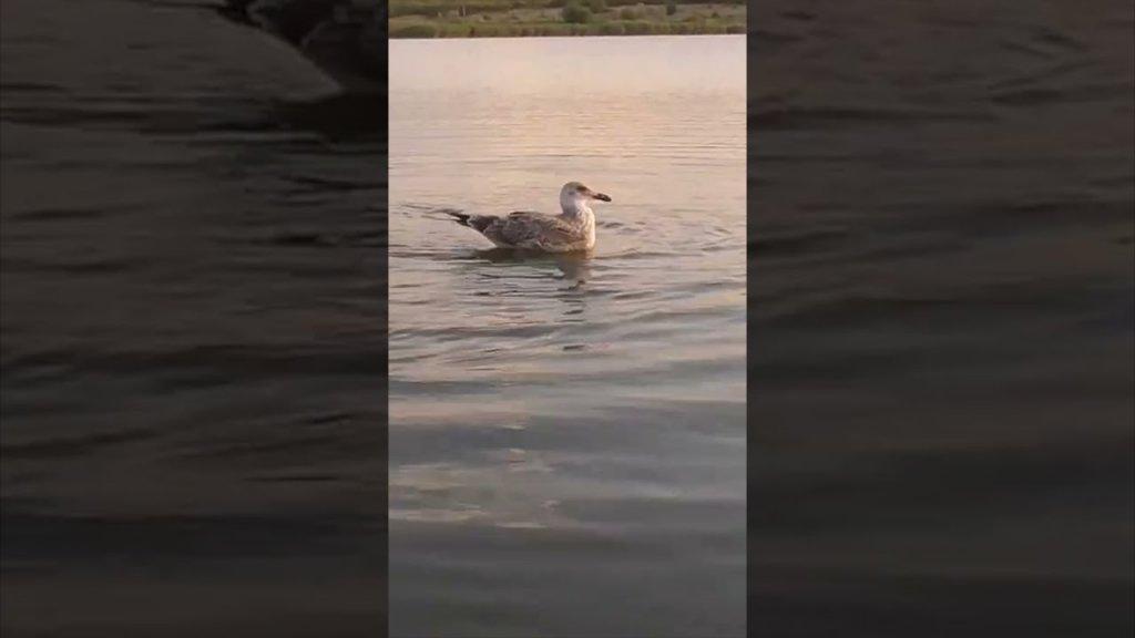 Чайка в деле... Наглая чайка против лодки, рыбака, удочки! Рыбалка на поплавок #shorts
