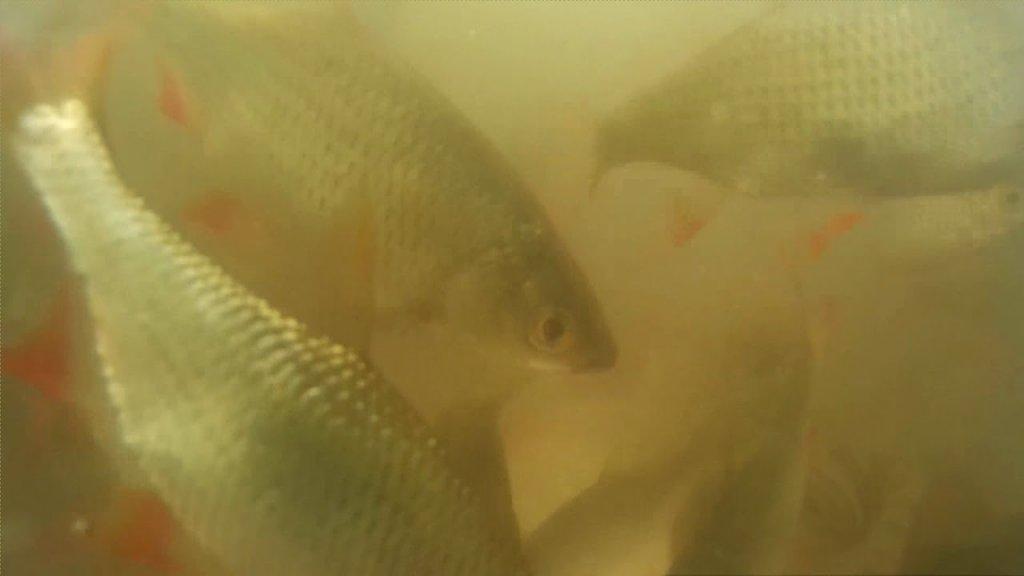 Реакция рыбы на самодельную прикормку. Подводное видео идеальной прикормки для карася