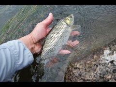 Что будет, если отпустить рыбу в нерест?