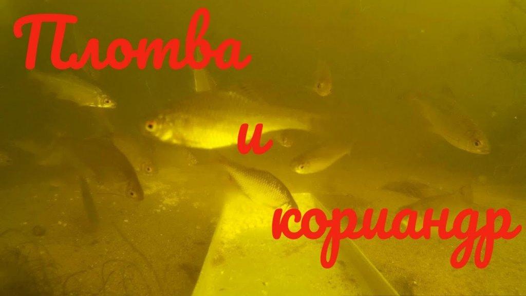 Реакция рыбы на пшено с кориандром. Поведение самодельной прикормки под водой. Подводная съёмка