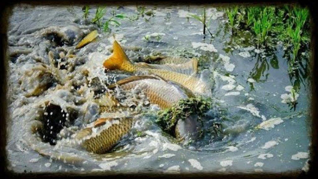 Нерест. При какой температуре начинает нерестится рыба.