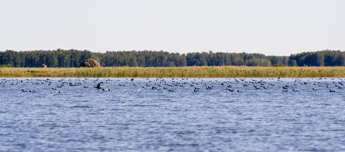 Чистоозерка 2007 (оз. табулга) Лысуха