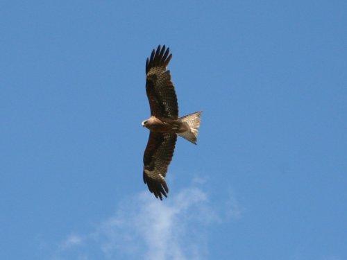 Крылатый охотник.