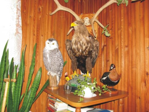 Полярная сова, орлан-белохвост, краснозобая казарка.