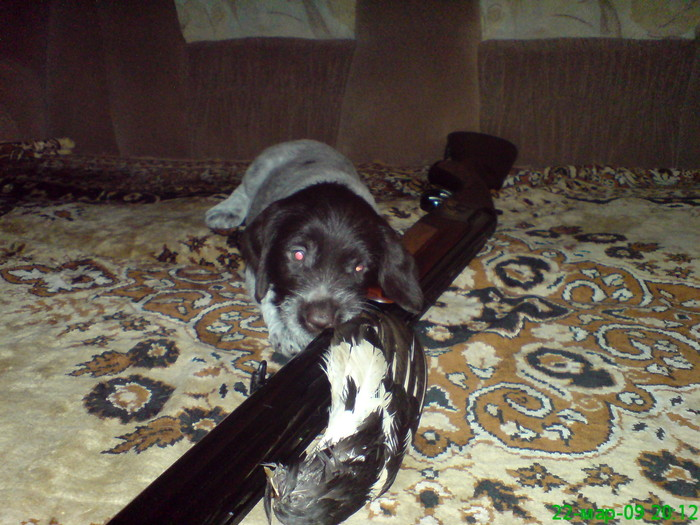 Юный дратхаар мечтает об охоте с новым хозяином!