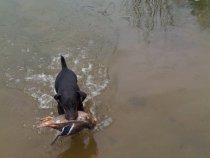 Первая утка моего ягда, достал из камыша.