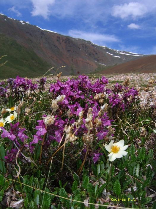 Высокогорная растительность в близи с. Акташ